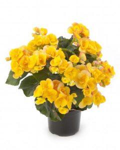 Begonia  Reiger Eva