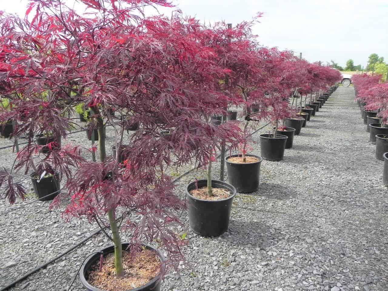 Acer Palmatum Dissectum Red Dragon Pépinière Locas