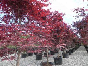 Acer palmatum Emperor One