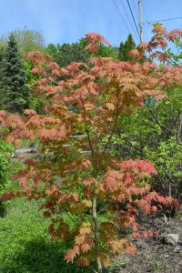 Acer pseudosieboldianum North Wind
