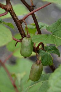Actinidia arguta Issaï – kiwi