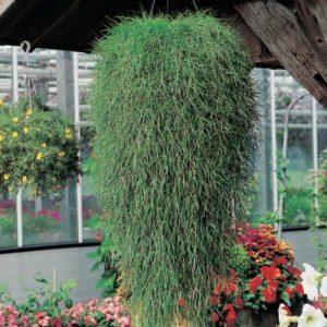 Agrotis Stolonifera Green Twist