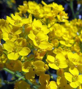 Alyssum wulfenianum Golden Spring