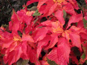 Amaranthus Gig.Splendens Perfecta