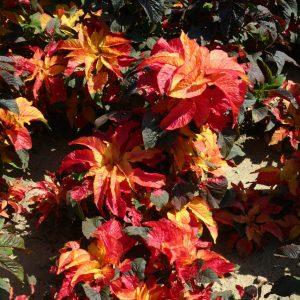 Amaranthus Gangeticus Carnival