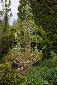 Amelanchier alnifolia Obelisk