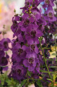 Angelonia Archangel Dark Purple