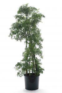 Aralia fruticosa Ming (Polycias fruticosa Ming )
