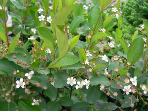 Aronia melanocarpa Autumn Magic