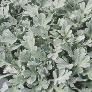 Artemisia Silver  Cascade