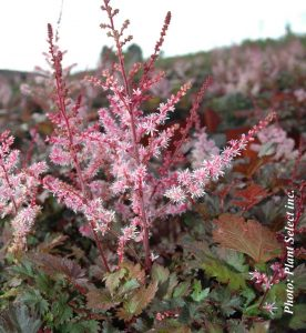 Astilbe japonica Delft Lace