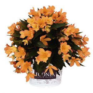 Begonia I'conia Lucky strike