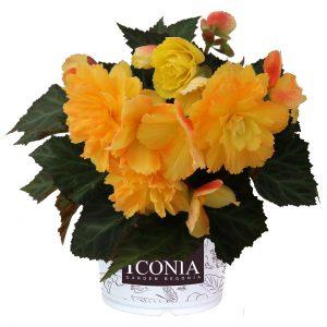 Begonia I'conia Portofino Citrix