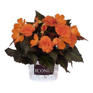 Begonia I'conia Portofino Hot Orange