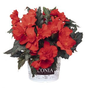 Begonia I'conia Upright Red