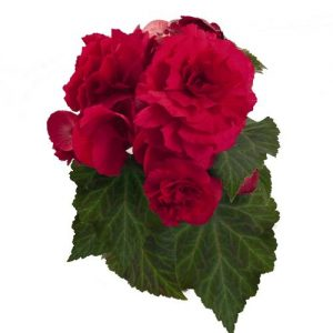 Begonia  Nonstop Deep Rose