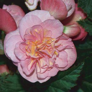 Begonia  Nonstop Pink