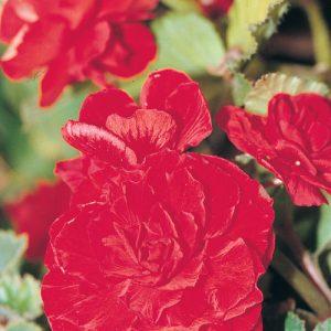 Begonia  Nonstop Rouge