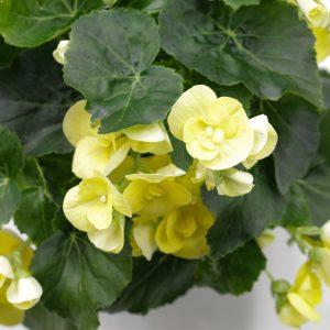 Begonia  Reiger jaune