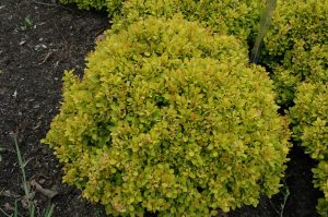 Berberis thunbergii Golden Nugget
