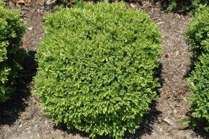 Buxus Green Gem