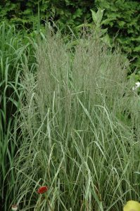 Calamagrostis acutiflora Overdam