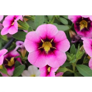 Calibrachoa Bloomtastic Pink flare