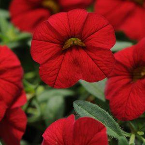 Calibrachoa Cabaret Bright Red