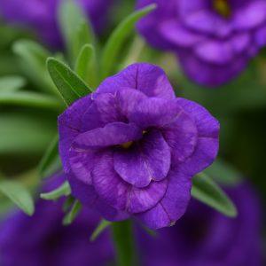 Calibrachoa MiniFamous Neo Double Blue