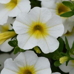 Calibrachoa MiniFamous Neo White Yellow Eye