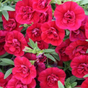 Calibrachoa Superbells Double Ruby