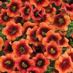 Calibrachoa Superbells Tangerine Punch