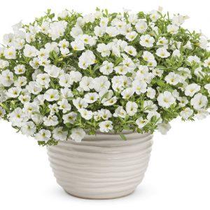 Calibrachoa Superbells White