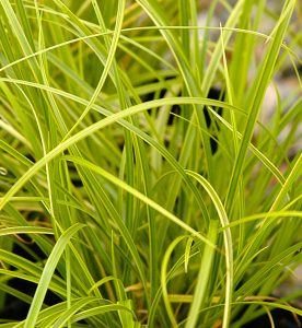 Carex dolichostachya Gold Fountaine