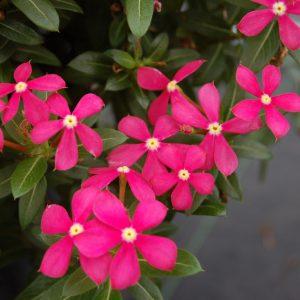 Catharanthus Soiree Kawaii Coral