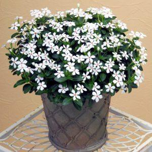 Catharanthus Soiree Kawaii White Peppermint