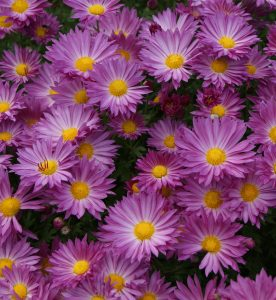 Chrysanthemum Mammoth Dark Pink