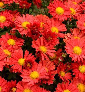Chrysanthemum Mammoth Red