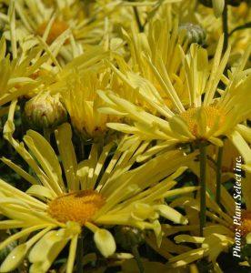 Chrysanthemum Mammoth Yellow Quill