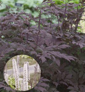 Cimicifuga racemosa Hillside Black Beauty