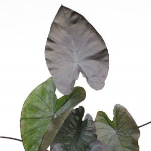 Colocasia esculenta Hawaiian Aloha