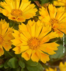 Coreopsis grandiflora Jethro Tull