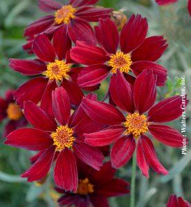 Coreopsis x Red Satin