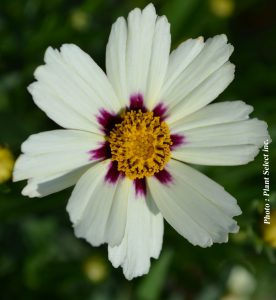 Coreopsis x Star Cluster