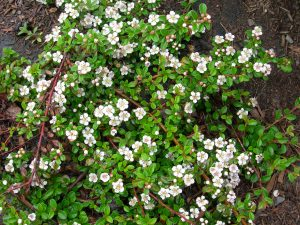 Cotoneaster dammeri Coral Beauty