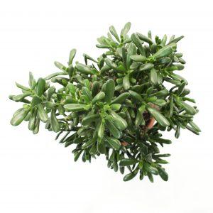 Crassula Ovata syn. C. argentea Bonsai