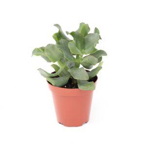 Crassula arborescens undulatifolia Ripple Jade