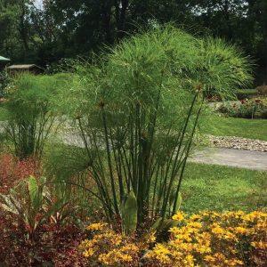Cyperus Nile Queen