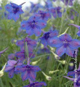Delphinium grandiflorum Blue Butterfly