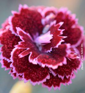 Dianthus Fruit Punch Black Cherry Frost
